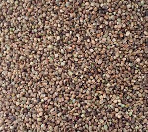 CPLANT CBD Seeds